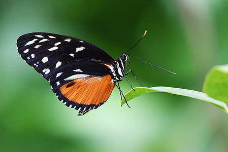 close-up photo of black and orange with white spot butterfly