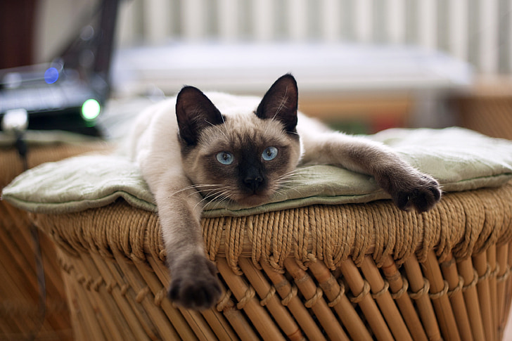Siamese cat lying on beige textile