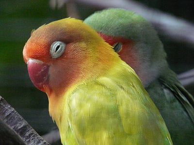 selective focus photography of yellow and green lovebirds