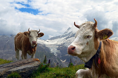 brown cattle near mountain during daytime