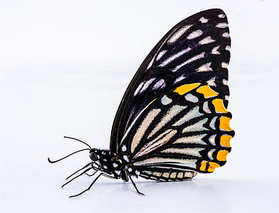 black and yellow closewing butterfly in closeup photography