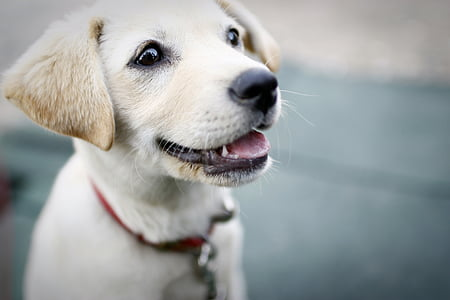 closeup photography of yellow Labrador retriever puppy