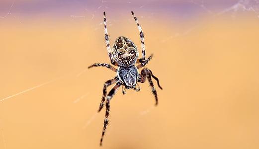 brown barn spider on cobweb
