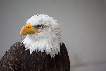 close up photo of bald eagle