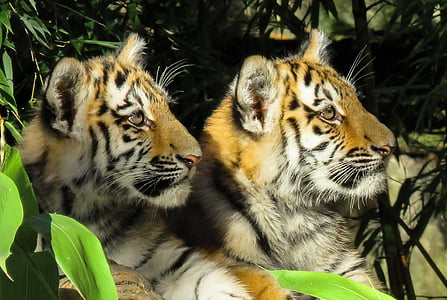 wildlife photography of two tigers