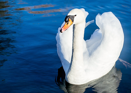 white swan on water closeup photography at daytime