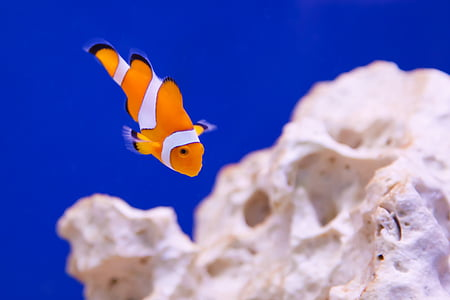 Clownfish in macroshot