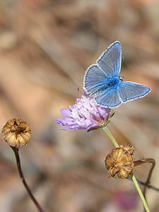 common blue butterfly on pink carnation flower during daytime