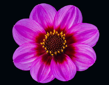 pink single-petaled dahlia flower