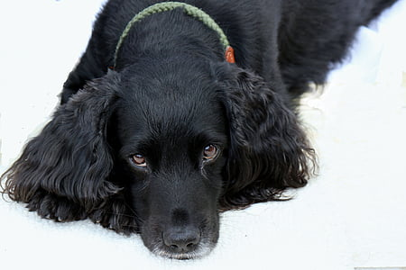 black poodle lying on the ground looking up
