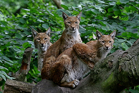 three brown lynx on tree during daytime