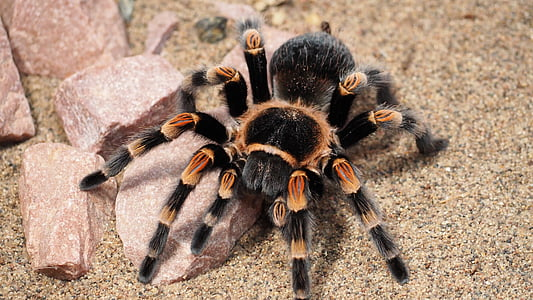 brown and black spider