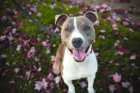 adult tan and white Staffordshire bull terrier sitting on grass field