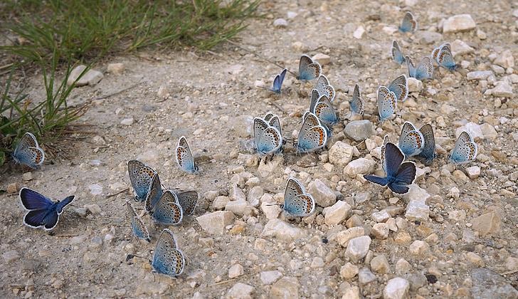 swarm of blue butterflies