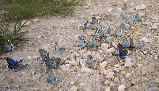 swarm of blue butterflies