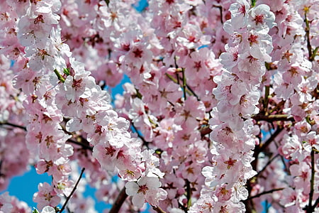 pink cherry blossoms in bloom at daytime
