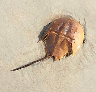 horseshoe crab on shoreline