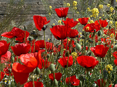 red and yellow petaled flower field