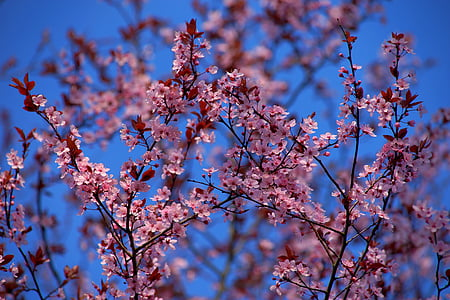 pink Sakura blossoms under blue sky