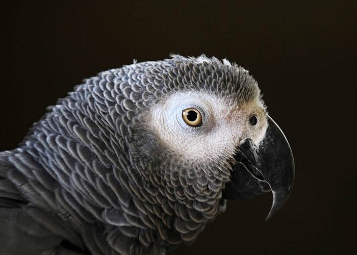 gray parrot
