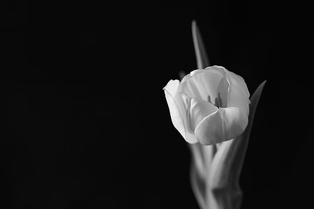 grayscale photo of blooming tulip