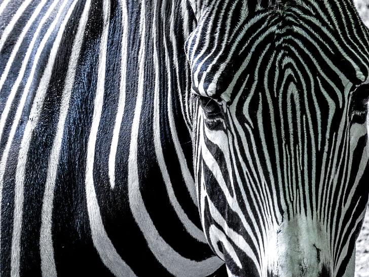 photography of zebra during daytime