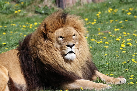 brown lion