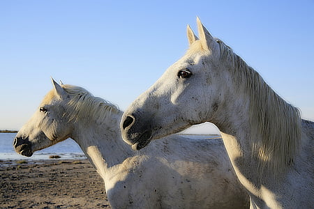 photography of two white horses