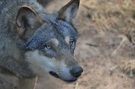 closeup photo of adult wolfdog