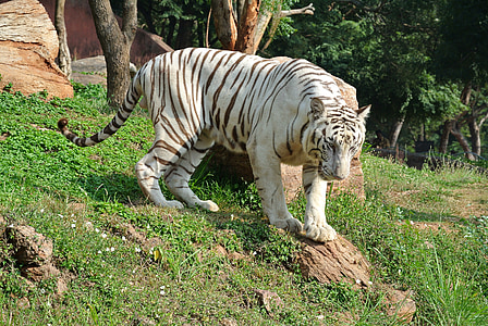 white and brown tiger on green grass