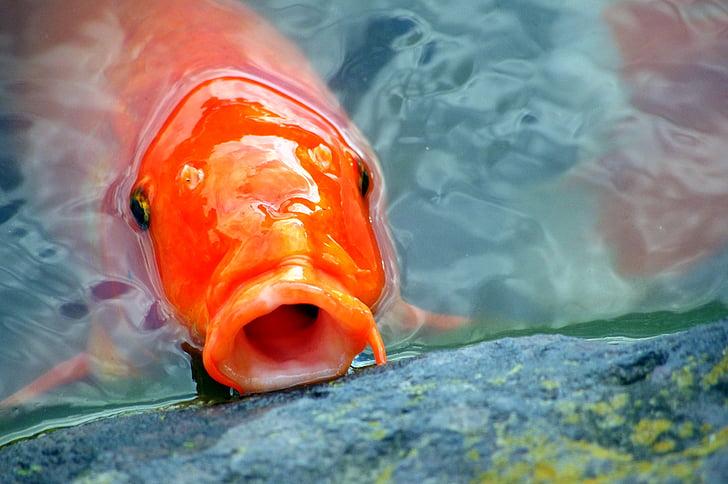 orange koi fish under water