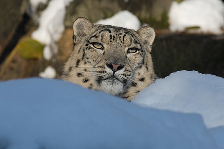 leopard on snow field