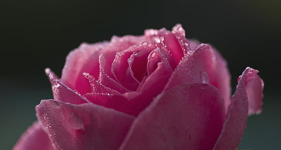 close up photography of pink rose flower with water dew