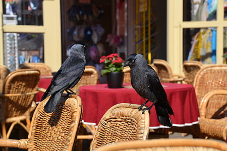 two crows perched on brown wicker chair