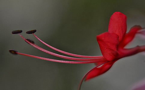 bokeh photography of red hibiscus