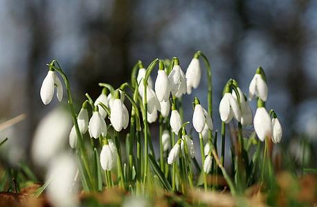 focus photo of white snowdrop flower