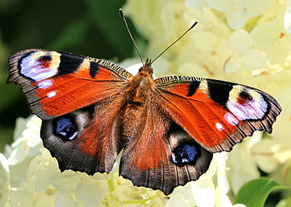 peacock butterfly perched on white cluster petaled flower in closeup photography