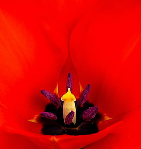 macro photography of red petaled flower pollen