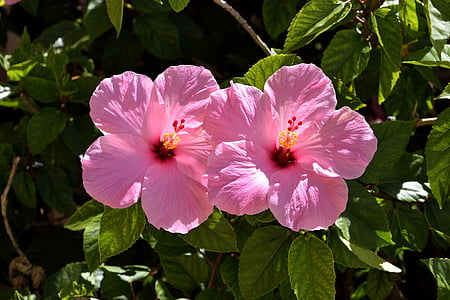 pink Hibiscus flowers