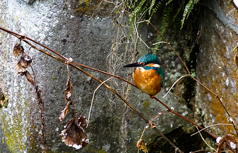 river kingfisher perched on brown stem of plant