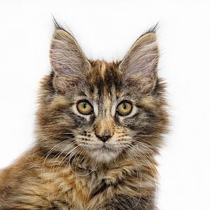 short-coated brown and black cat