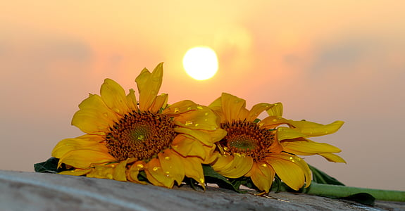 two yellow sunflower flowers on gray ground at daytime