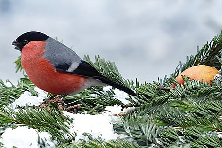 red and gray bird pearched on pine leaf