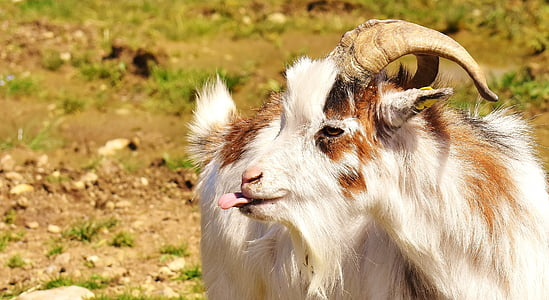 white and brown goat in brown open field