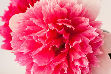 closeup photography of pink dahlia flower