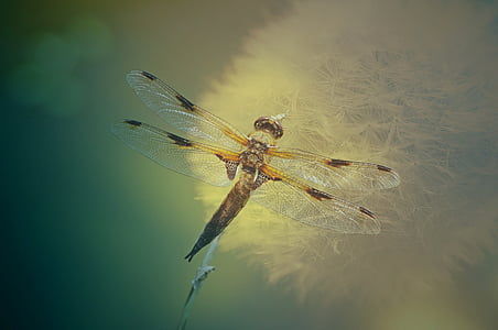 yellow and black skimmer dragonfly perching on dandelion in close-up photography