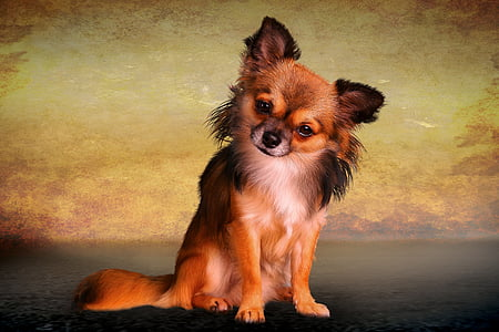 long-coated brown and black Chihuahua