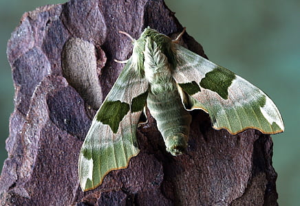 pandora hawk moth perched on brown surface in closeup photography
