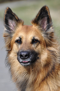 adult German shepherd closeup photography