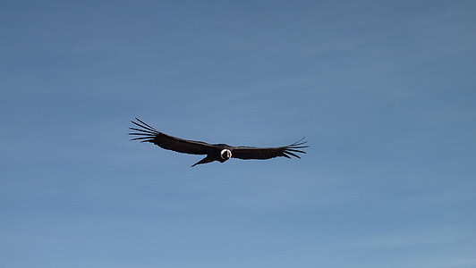 black and white eagle flying on air under blue sky